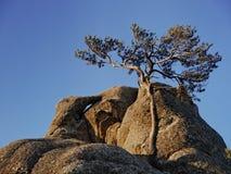 Albero di pino montano Fotografie Stock Libere da Diritti