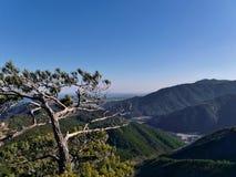 Albero di pino montano Fotografia Stock Libera da Diritti