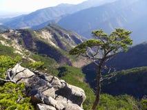 Albero di pino montano Fotografia Stock