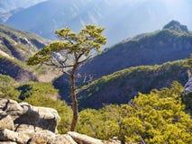 Albero di pino montano Immagini Stock