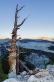 Albero di pino montano morto Fotografia Stock