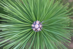 Albero di pino nel bloob Immagini Stock