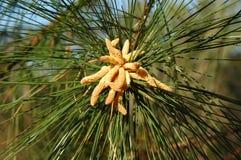 Albero di pino nel bloob Fotografie Stock Libere da Diritti