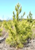 Albero di pino rigido in Carolina del Sud Fotografia Stock Libera da Diritti