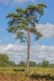 Albero di pino scozzese Immagini Stock Libere da Diritti