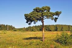 Albero di pino solitario al bordo della foresta Fotografia Stock Libera da Diritti