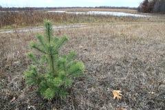 Albero di pino solo Immagine Stock Libera da Diritti