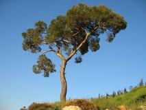 Albero di pino solo Immagini Stock
