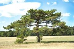 Albero di pino solo Fotografie Stock