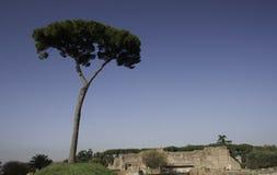 Albero di pino solo sulla collina del Palatine Immagini Stock