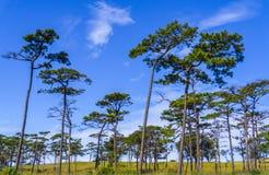Albero di pino su cielo blu Fotografia Stock