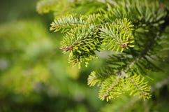 Albero di pino verde Immagini Stock