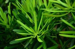 Albero di pino verde immagini stock libere da diritti