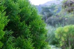 Albero di pino verde Fotografia Stock