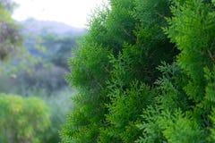 Albero di pino verde Fotografia Stock Libera da Diritti