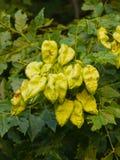 Albero di pioggia dorata, paniculata di Koelreuteria, primo piano non maturo dei baccelli del seme, fuoco selettivo, DOF basso Immagine Stock