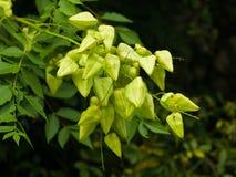 Albero di pioggia dorata, paniculata di Koelreuteria, primo piano non maturo dei baccelli del seme, fuoco selettivo, DOF basso Fotografie Stock Libere da Diritti