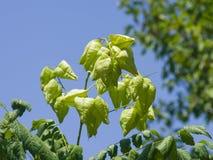 Albero di pioggia dorata, paniculata di Koelreuteria, primo piano non maturo dei baccelli del seme, fuoco selettivo, DOF basso Immagine Stock Libera da Diritti