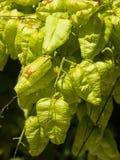 Albero di pioggia dorata, paniculata di Koelreuteria, primo piano non maturo dei baccelli del seme, fuoco selettivo, DOF basso Fotografia Stock Libera da Diritti