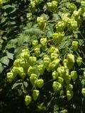 Albero di pioggia dorata, paniculata di Koelreuteria, primo piano non maturo dei baccelli del seme, fuoco selettivo, DOF basso Immagini Stock