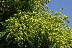 Albero di pioggia dorata, paniculata di Koelreuteria, primo piano non maturo dei baccelli del seme, fuoco selettivo, DOF basso Fotografie Stock