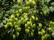 Albero di pioggia dorata, paniculata di Koelreuteria, primo piano non maturo dei baccelli del seme, fuoco selettivo, DOF basso Immagini Stock Libere da Diritti
