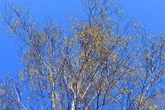 Albero di pioppo bianco contro il cielo perfetto blu in un giorno soleggiato della molla fotografie stock