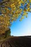 Albero di pioppo di autunno Immagine Stock Libera da Diritti