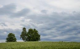Albero di pioppo nel campo della patata del fiore Fotografia Stock