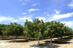 Albero di pistacchio Fotografia Stock