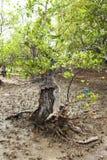 Albero di plastica delle mangrovie di inquinamento Fotografia Stock