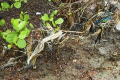 Albero di plastica delle mangrovie di inquinamento Fotografie Stock