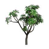 albero di plumeria della rappresentazione 3D su bianco Fotografie Stock