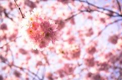 Albero di prugna di fioritura fotografie stock libere da diritti