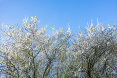 Albero di prunus cerasifera in primavera fotografia stock libera da diritti