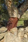 Albero di querce da sughero sbucciato Immagine Stock Libera da Diritti