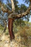 Albero di querce da sughero sbucciato Immagini Stock Libere da Diritti