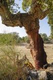 Albero di querce da sughero sbucciato Fotografia Stock