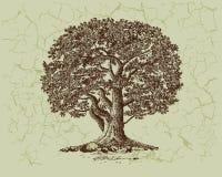 Albero di quercia Immagini Stock Libere da Diritti