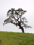 albero di quercia Immagini Stock