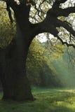 Albero di quercia Fotografie Stock