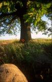 Albero di quercia Fotografia Stock