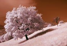 Albero di quercia Immagine Stock