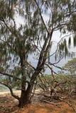 Albero di quercia del fiume Immagine Stock