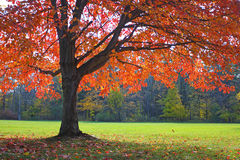 Albero di quercia di autunno Fotografia Stock Libera da Diritti