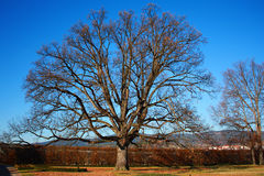 Albero di quercia di autunno in giardino Fotografia Stock