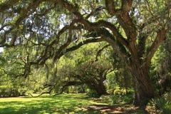 Albero di quercia gigante Fotografia Stock