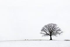 Albero di quercia in inverno Immagine Stock