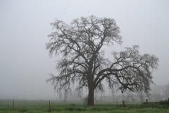 Albero di quercia in inverno Fotografia Stock
