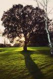 Albero di quercia isolato Immagini Stock Libere da Diritti